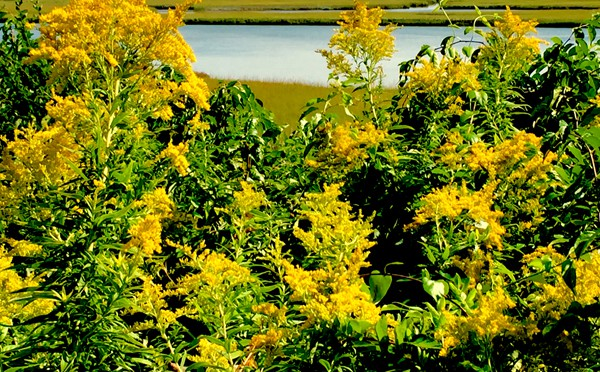 The Goldenrod Wildflowers Are Gorgeous At Fort Hill In Eastham On Cape Cod