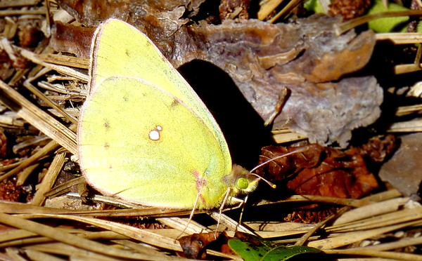 Yellow Clouded Sulphur Butterfly In Eastham On Cape Cod