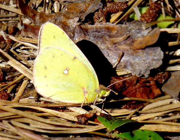 butterflysulfur