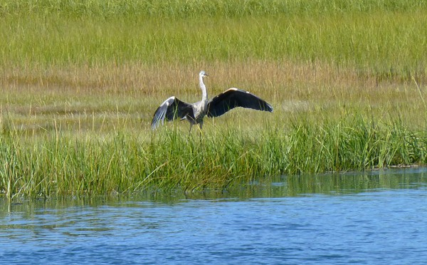 The Great Blue Heron Is One Of My Favorite Birds On The Salt Marsh On Cape Cod