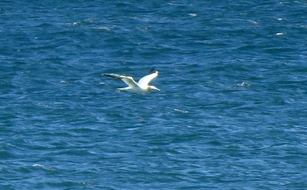 Northern Gannet Diving For Food At Coast Guard Beach In Eastham On Cape Cod