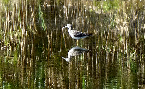 Greater Yellowlegs At The Wellfleet Bay Wildlife Sanctuary On Cape Cod