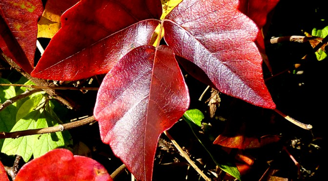 Very Colorful And Abundant Red-Leafed Poison Ivy Here On Cape Cod