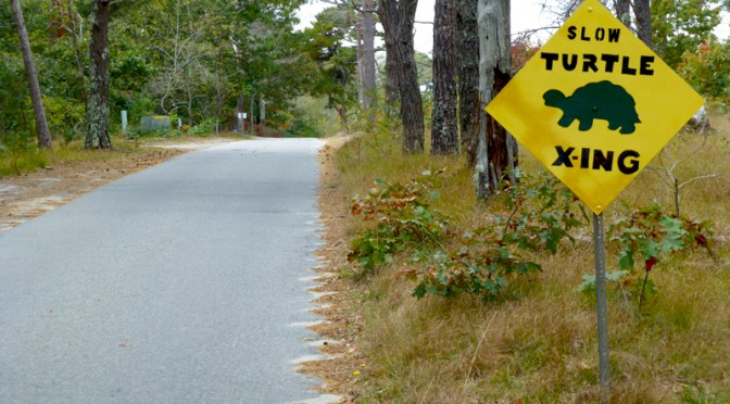 Slow Turtle Crossing At The Wellfleet Bay Wildlife Sanctuary On Cape Cod