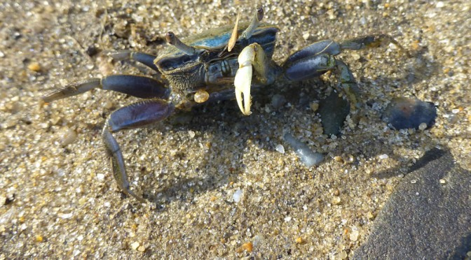 Interesting Green Crab At Lieutenant Island Trail In Wellfleet On Cape Cod