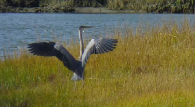 Great Blue Heron At Nauset Salt Marsh On Cape Cod