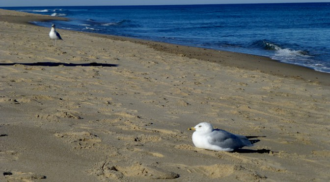 Content Seagulls On Nauset Beach In Orleans On Cape Cod
