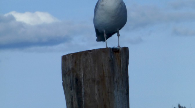 Content Seagull Sitting on the Post At Rock Harbor On Cape Cod