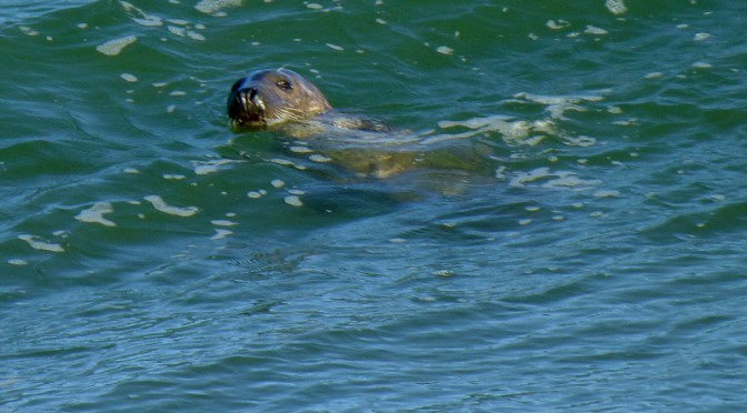 Cute Little Gray Seals Swimming At Coast Guard Beach In Eastham On Cape Cod
