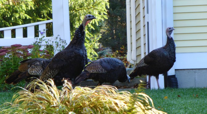 Wild Turkeys Everywhere In Orleans On Cape Cod