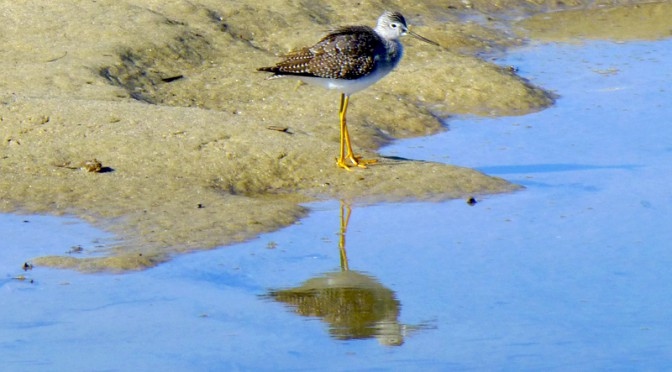 Beautiful Greater Yellowlegs At the Wellfleet Audubon Sanctuary On Cape Cod