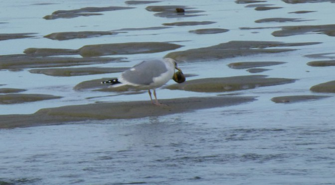 Innovative Seagull Eats A Clam At Boat Meadows On Cape Cod