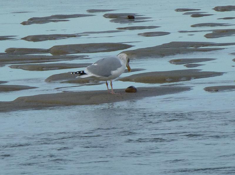seagullfood2