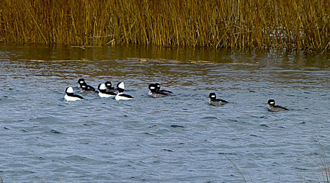 Bufflehead Ducks On Boat Meadows River In Eastham On Cape Cod