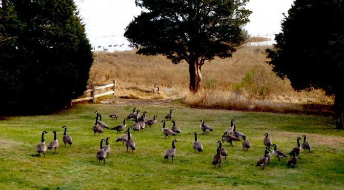 Lots Of Canada Geese In Our Yard In Orleans On Cape Cod