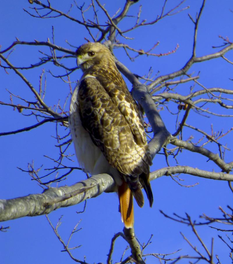 redtailedhawk1