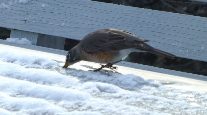 Robins Getting A Drink From The Snow On Our Deck In Orleans On Cape Cod