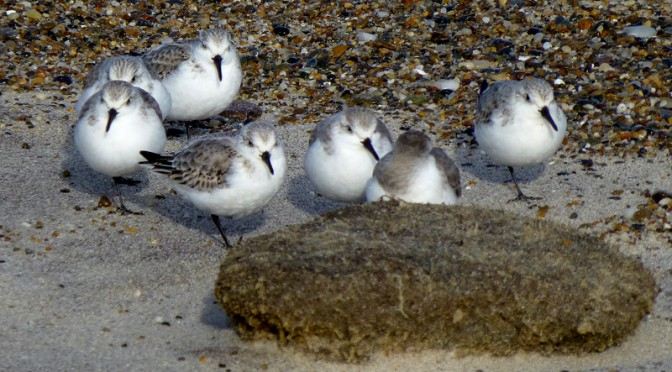 Grey And White Sanderlings At Nauset Beach In Orleans On Cape Cod