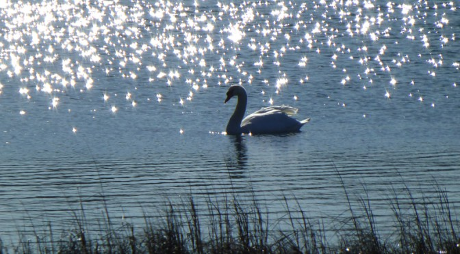 Beautiful Swan Silhouette On Meeting House Pond In Orleans On Cape Cod