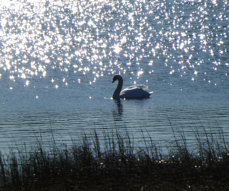 Beautiful Swan Silhouette On Meeting House Pond In Orleans
