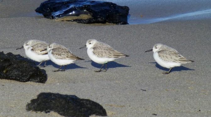 Love The Little Sanderlings Along The Shores Of Cape Cod
