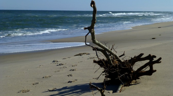 Pretty Driftwood On Nauset Beach In Orleans On Cape Cod