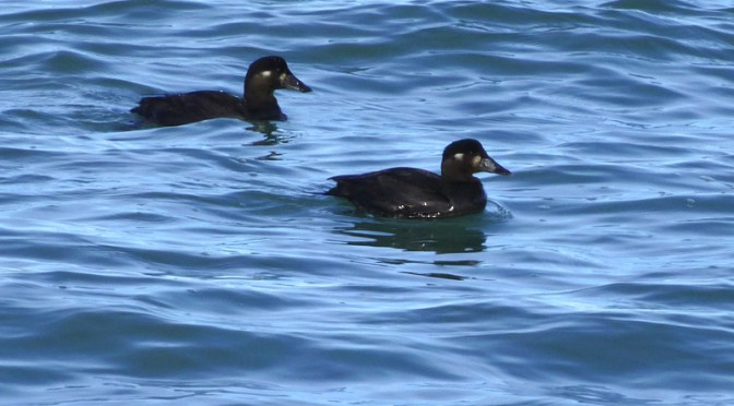 Diving Harlequin Ducks Off Of Nauset Beach On Cape Cod