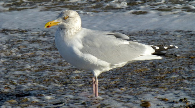 Portrait Of A Seagull At Nauset Beach On Cape Cod
