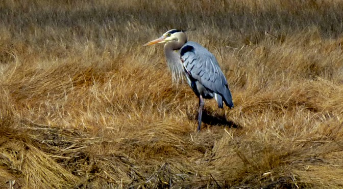 Beautiful Great Blue Heron At Nauset Marsh On Cape Cod
