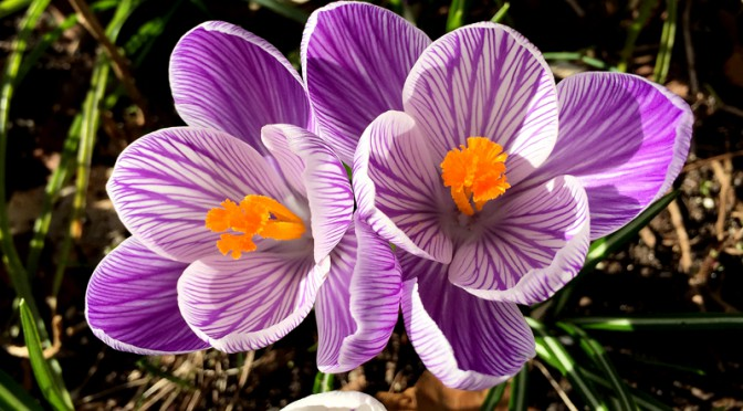 Pretty Little Purple Crocuses Blooming In Orleans On Cape Cod