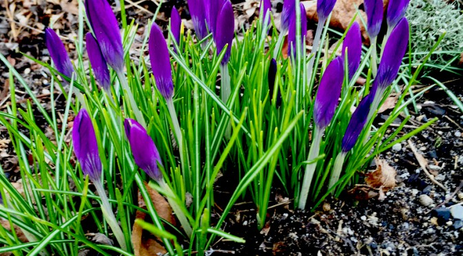 The Crocuses Are Ready To Bloom On Cape Cod