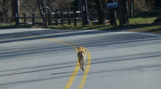 Who Has The Right of Way On Cape Cod, The Fox Or me?