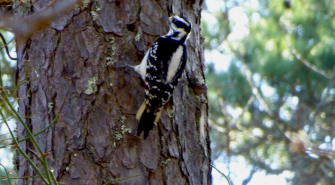 Hairy Woodpecker In Wiley Park On Cape Cod