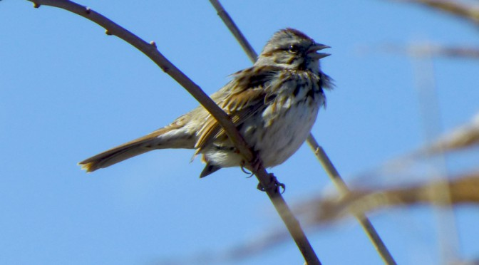 The Song Sparrows Are Singing Away On Cape Cod