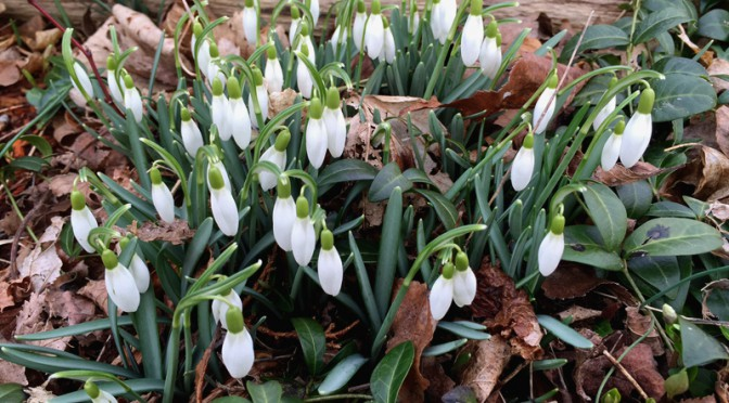 Pretty Little, White Snowdrop Flowers In Orleans On Cape Cod