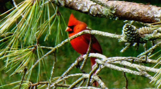 Pretty Red Cardinal In The Tree Outside My Home On Cape Cod