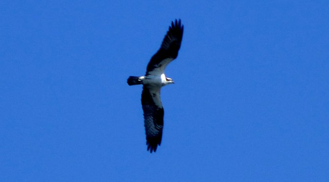Osprey Diving For Lunch At Wiley Park In Eastham On Cape Cod