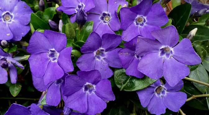 The Purple Periwinkles Are Blooming And Beautiful On Cape Cod