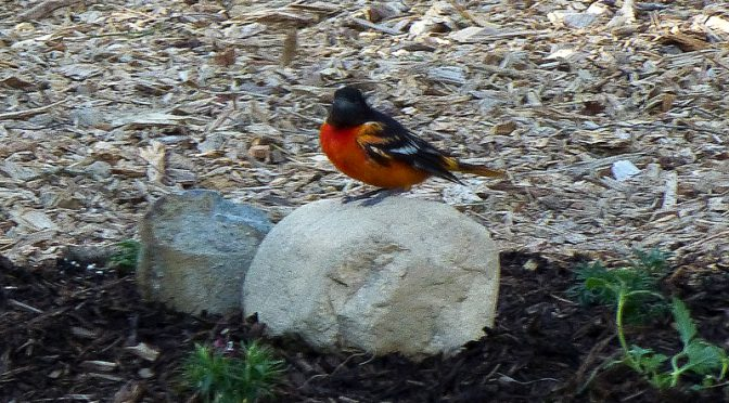 Orange And Black Baltimore Oriole  Making A Nest In Our Yard On Cape Cod