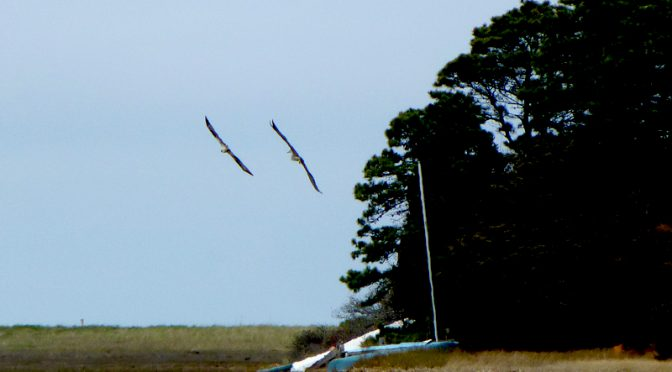 Great Blue Heron And Osprey At Boat Meadow On Cape Cod