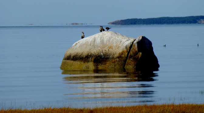 The Double-Crested Cormorants Are Back On Cape Cod!