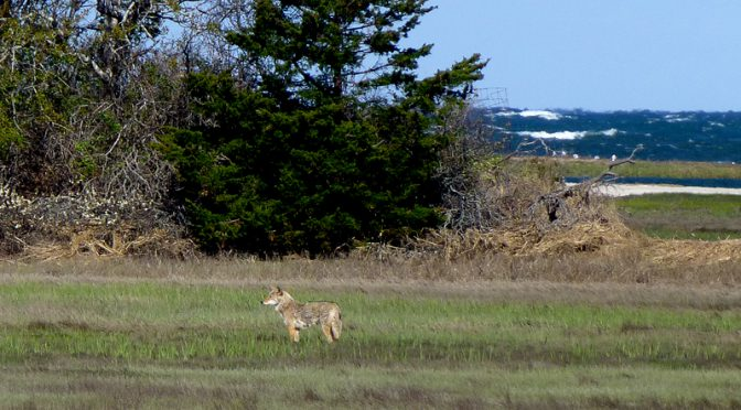 Coyote Looking For Breakfast On The Salt Marsh On Cape Cod