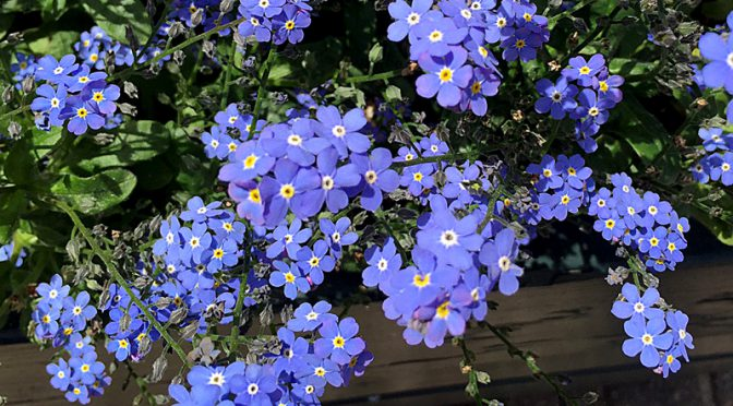 Pretty Little Blue Forget-Me-Not Wildflowers In Provincetown on Cape Cod
