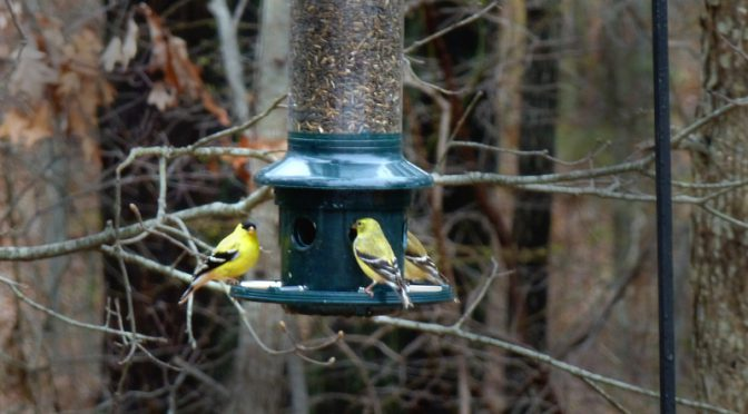 The Goldfinches Have Found Our New Bird Feeder In Eastham On Cape Cod!