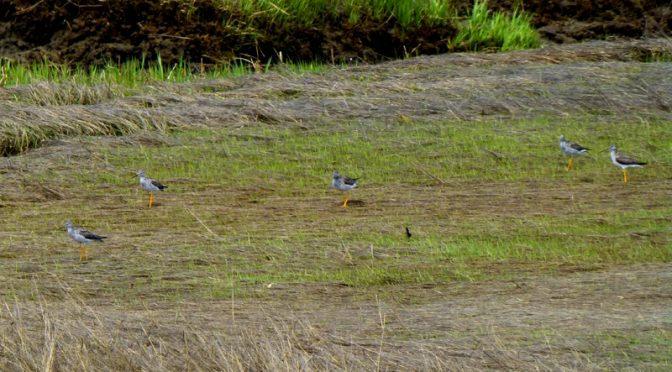 Lots Of Greater Yellowlegs At Boat Meadow In Eastham On Cape Cod