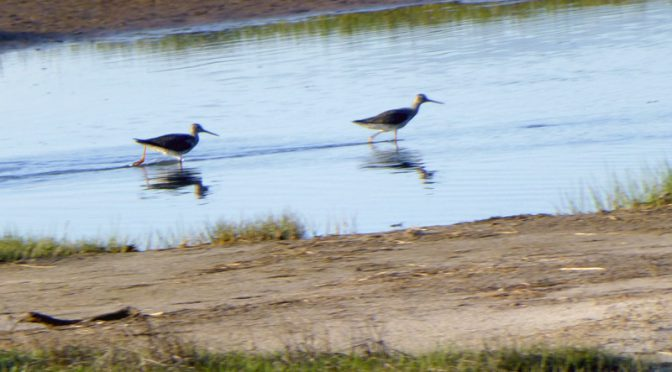 Greater Yellowlegs Courting At Boat Meadows Pond On Cape Cod
