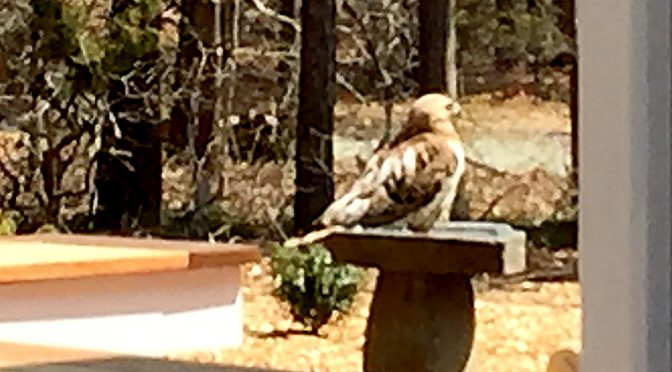 Red-Tailed Hawk In Our Bird Bath On Cape Cod!