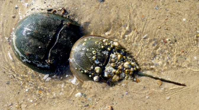 Horseshoe Crabs In Cape Cod Bay