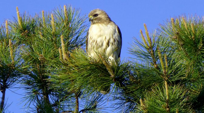 Red-Tailed Hawk Posing For Me In Eastham On Cape Cod