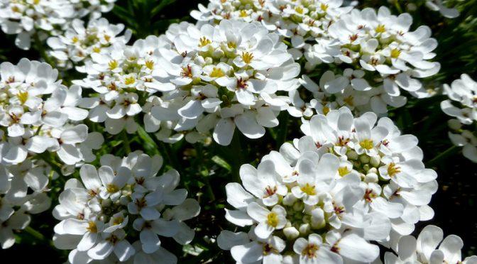 Pretty Little White Wildflowers All Over Cape Cod